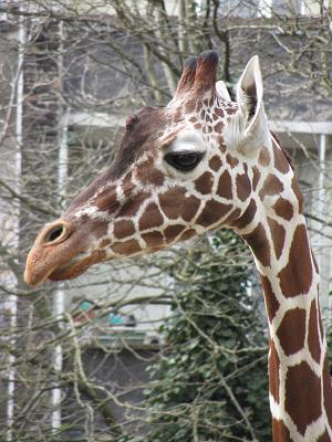Giraffe glotzt