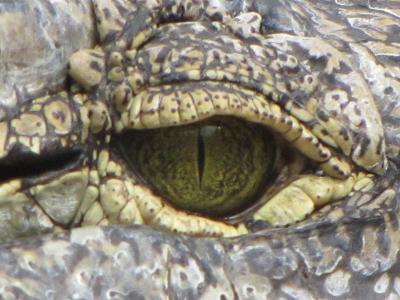 Das Auge eines Krokodiles im Zoologischer Garten der Stadt Köln